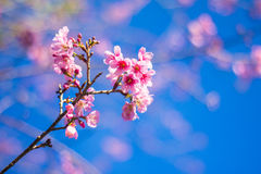 SAKURA Flower. Sakura is blooming pink flowers, full of early with strong sunlight Royalty Free Stock Image