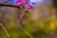 Sakura and the little bee. Sakura is blooming pink flowers pretty full Royalty Free Stock Images