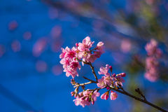 SAKURA Flower. Sakura is blooming pink flowers, full of early with strong sunlight Royalty Free Stock Photo