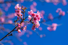 SAKURA Flower. Sakura is blooming pink flowers, full of early with strong sunlight Royalty Free Stock Photography