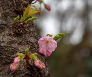 Sakura flower & cherry blossoms royalty free stock photography