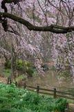 Sakura flower & cherry blossoms stock image