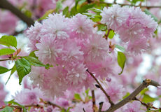 Sakura flower Stock Photography