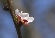 Sakura flower, close-up Royalty Free Stock Photo