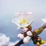Sakura Flower - cuadrado Imagen de archivo libre de regalías