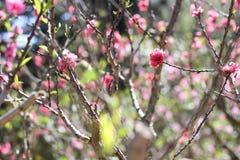 Sakura. Flower in Dalat. Spring traditional flower in Vietnam. Nature Stock Image