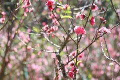 Sakura. Flower in Dalat. Spring traditional flower in Vietnam. Nature Stock Photo