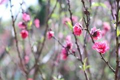 Sakura. Flower in Dalat. Spring traditional flower in Vietnam. Nature Stock Photography