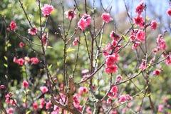 Sakura. Flower in Dalat. Spring traditional flower in Vietnam. Nature Royalty Free Stock Photography