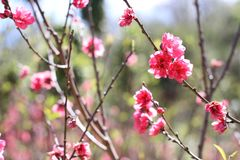 Sakura. Flower in Dalat. Spring traditional flower in Vietnam. Nature Royalty Free Stock Photos