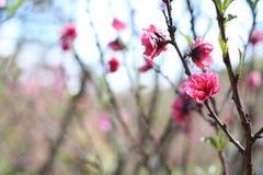 Sakura. Flower in Dalat. Spring traditional flower in Vietnam. Nature Royalty Free Stock Images
