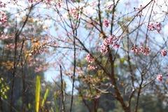 Sakura. Flower in Dalat. Spring traditional flower in Vietnam. Nature Royalty Free Stock Image