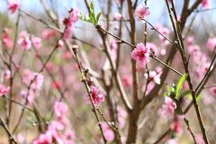 Sakura. Flower in Dalat. Spring traditional flower in Vietnam. Nature Stock Images
