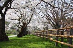 Sakura Flower fotografering för bildbyråer