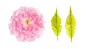 Sakura flower green cherry tree leaves isolated white background royalty free stock image