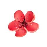 Sakura Flower Isolated Cherry Tree Immagini Stock