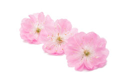 sakura flower isolated Royalty Free Stock Photography