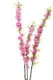 sakura flower isolated Royalty Free Stock Images
