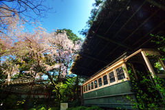 Sakura flower, Japan Stock Photography