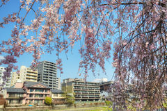 Sakura flower, Japan Royalty Free Stock Images