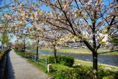 Sakura flower, Japan Stock Image