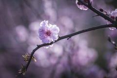 Sakura Royalty Free Stock Images