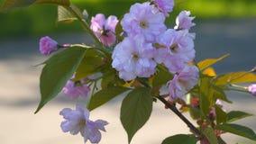 Sakura Flower Körsbärsröda blomningar arkivfilmer