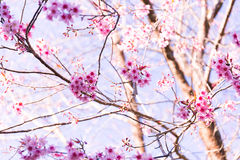 Sakura Flower med naturbakgrund i kall säsong Royaltyfria Foton