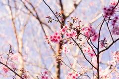 Sakura Flower met aardachtergrond in koel seizoen in Noordelijk Stock Afbeelding