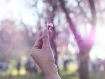 Sakura flower on mini heart finger over blurry sakura tree backg Stock Images