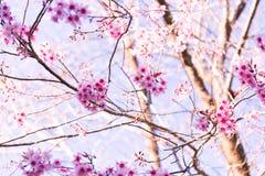 Sakura Flower mit Naturhintergrund in der kühlen Jahreszeit Lizenzfreie Stockfotos