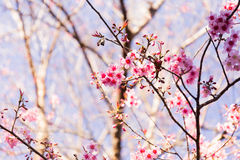 Sakura Flower with nature background in cool season in Northern Stock Image