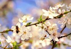 Sakura Flower o Cherry Blossom Foto de archivo