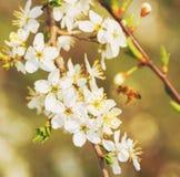 Sakura Flower o Cherry Blossom Fotos de archivo