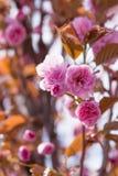 Sakura Flower o Cherry Blossom Imagen de archivo