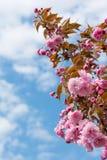 Sakura Flower o Cherry Blossom Fotografia Stock Libera da Diritti