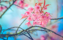 Sakura Flower Or Cherry Blossom With Beautiful Nature Background Wild Himalayan Cherry Flower With Filter Effect Sweet Process Sty Stock Photo