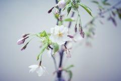 Sakura Flower ou Cherry Blossom Image libre de droits