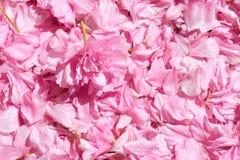 Sakura flower petal background, bright sunlight, macro photo Stock Images