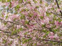 Sakura flower. Pink sakura flower on branch with some green leaf Royalty Free Stock Image