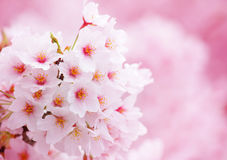 Sakura Royalty Free Stock Images