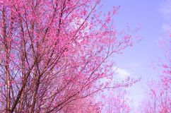 Sakura flower, pink sherry blossom flower. Stock Image