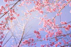 Sakura flower, pink sherry blossom flower. Stock Photo