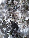 Sakura Flower arkivbild