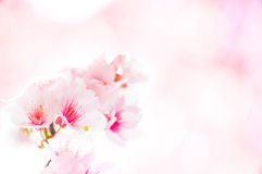 Sakura Flower Template Royalty Free Stock Photo