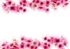Sakura Flower Template Stock Image