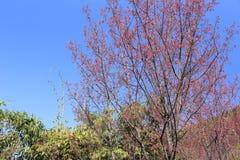 Sakura flower tree Royalty Free Stock Photo