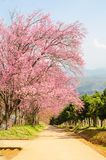Sakura flower tunnel in Thailand Stock Image