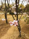 Sakura. The flower was shot by my wife in the garden which is near my home Royalty Free Stock Photos