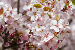 Sakura flowering. The arrival of spring. Sakura Flowering stock image